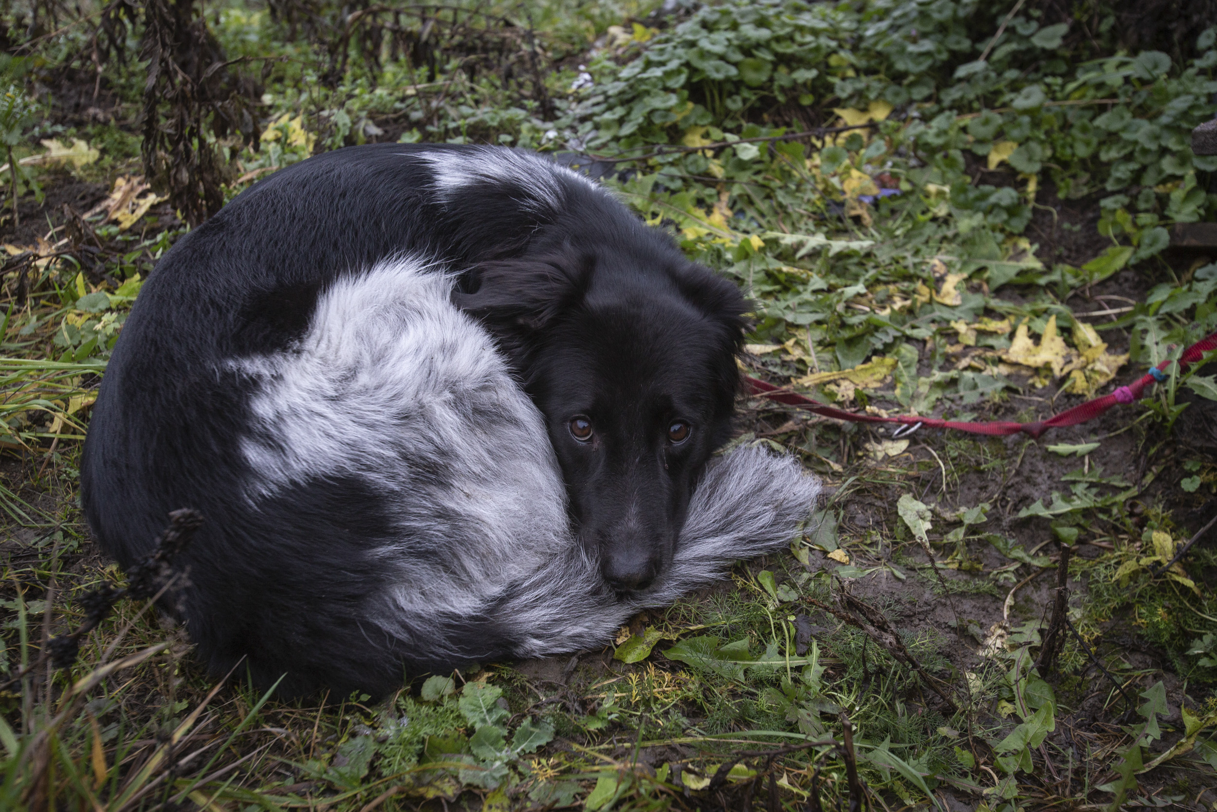 Sinin Virosta tuotu löytökoira Battu jaksaa odottaa kärsivällisesti kotiin pääsyä.