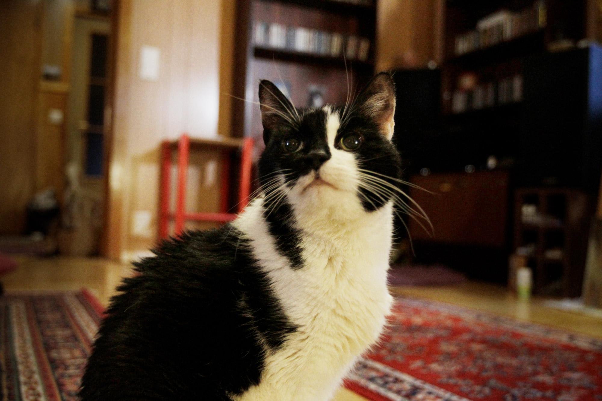 Kissa istuu olohuoneen lattialla ja katsoo ylös päin.