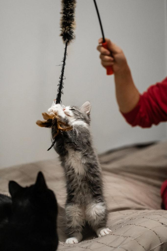 Kissa tarttuu varren päässä olevaan pörröiseen leluun