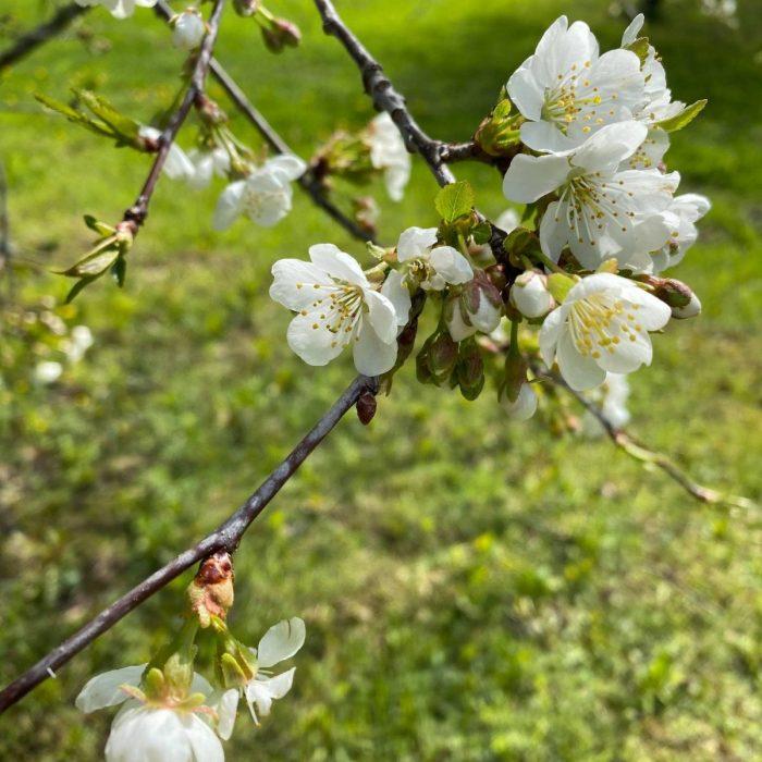 Omenapuu